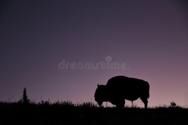 Close-up do bisonte solitário no prado de Hayden Valley no por do sol fotografia de stock