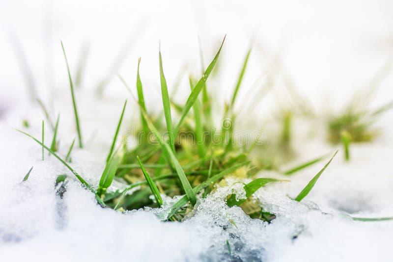 Close-up do broto da grama verde através da tampa de neve Começo da mola Fim do inverno Natureza que desperta o conceito imagens de stock
