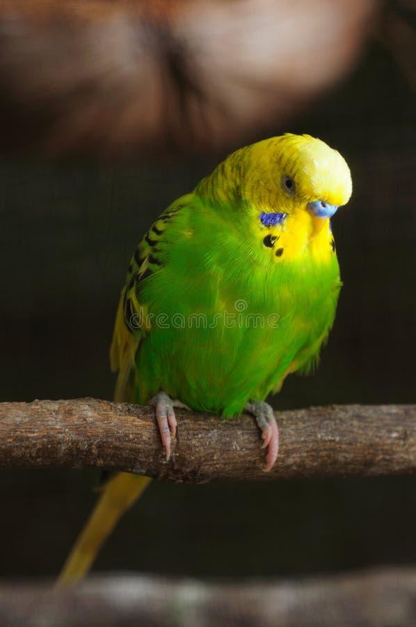 Close up do budgerigar fotografia de stock