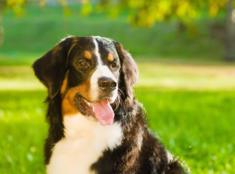 Close up do cão de montanha de Bernese fotos de stock royalty free