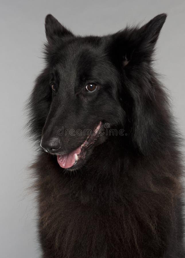 Close-up do cão de pastor belga, Groenendael imagem de stock