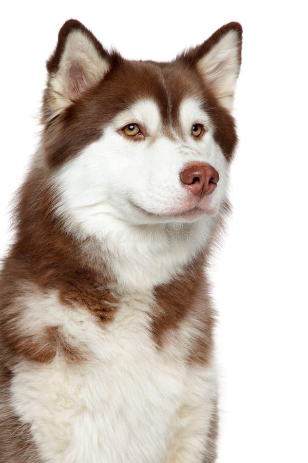 Close-up do cão do cão de puxar trenós Siberian imagens de stock royalty free
