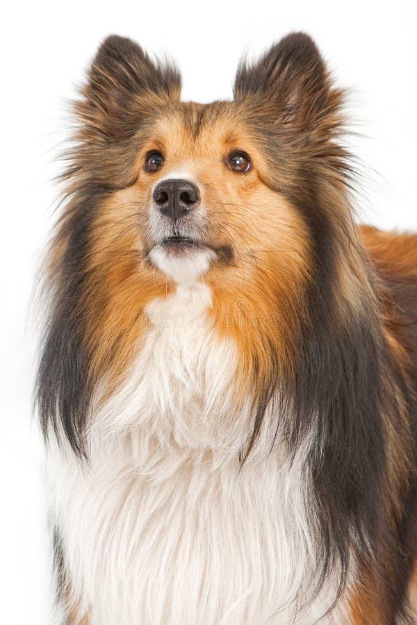 Close-up do cão de Sheltie isolado no branco imagem de stock royalty free