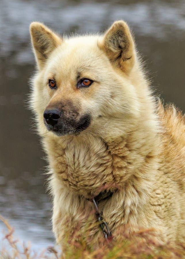 Close-up do cão de trenó imagens de stock