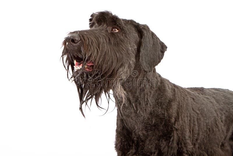 Close up do cão do Schnauzer gigante imagens de stock royalty free