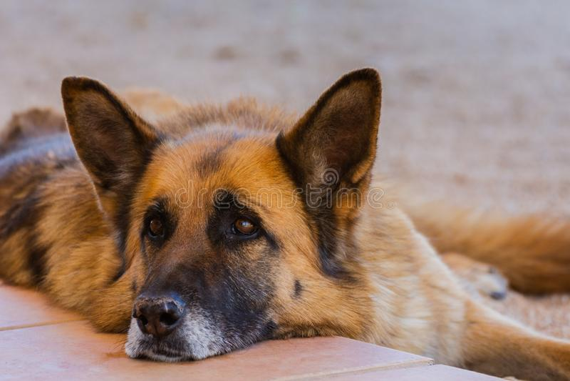 Close-up do cão-pastor alemão que encontra-se para baixo na mola em Valência, Espanha imagem de stock royalty free