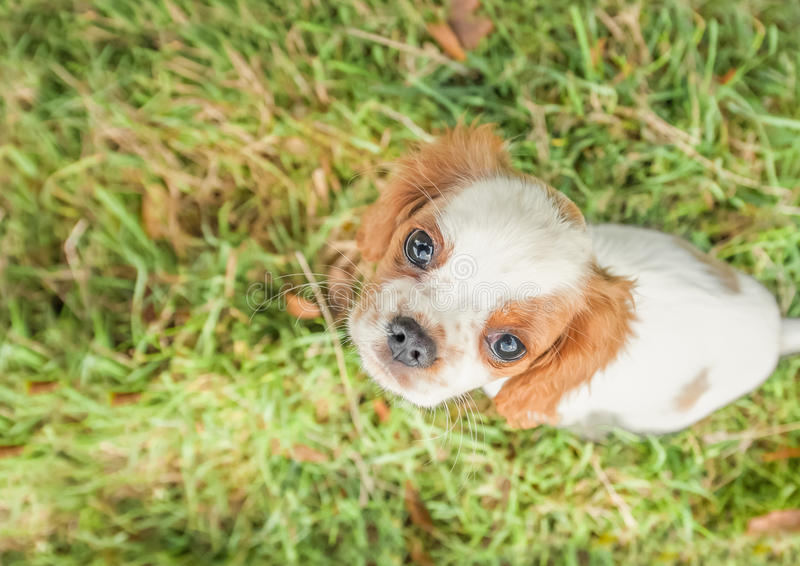 Close up do cachorrinho do spaniel fotos de stock
