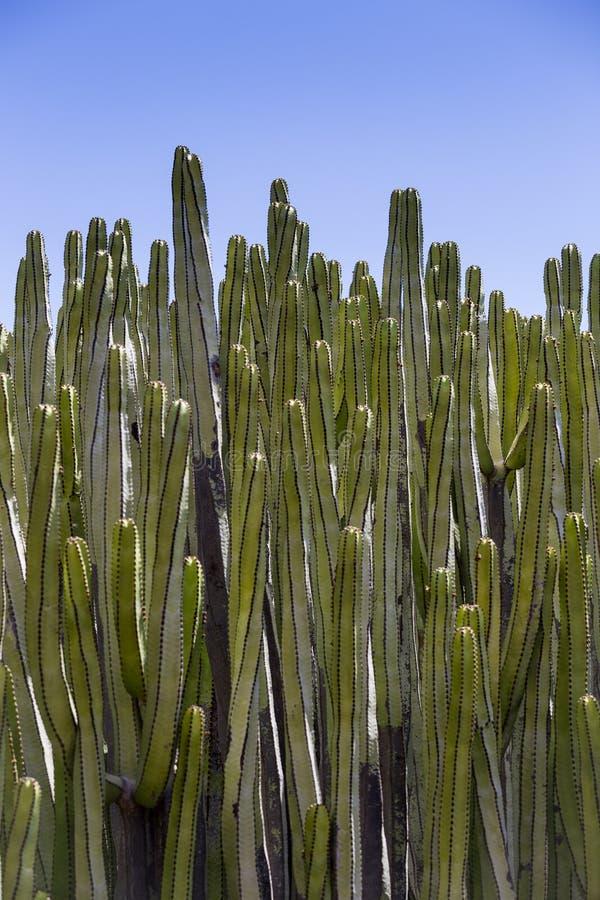 Close-up do cacto calmo na frente do céu, ilha de Tenerife, canário, Espanha fotografia de stock royalty free