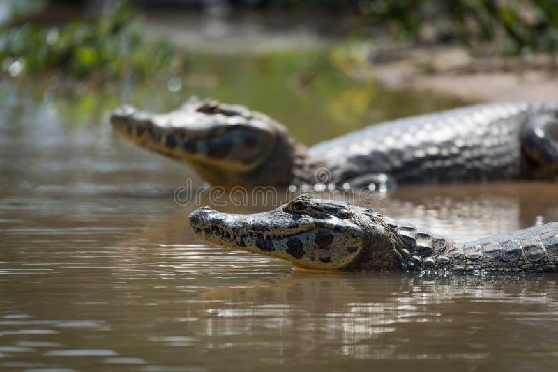 Close-up do caimão de dois yacare no raso imagens de stock