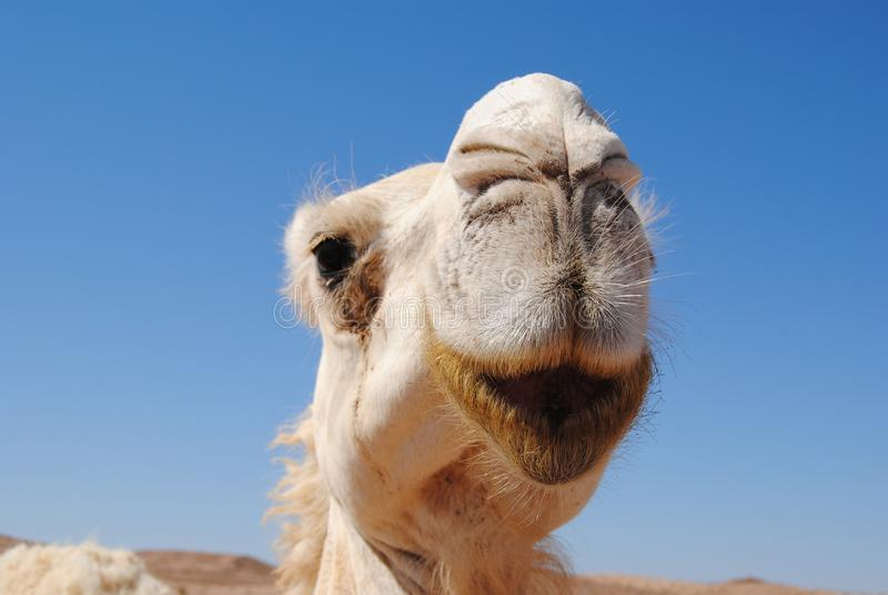 Close up do camelo de Jordânia fotografia de stock