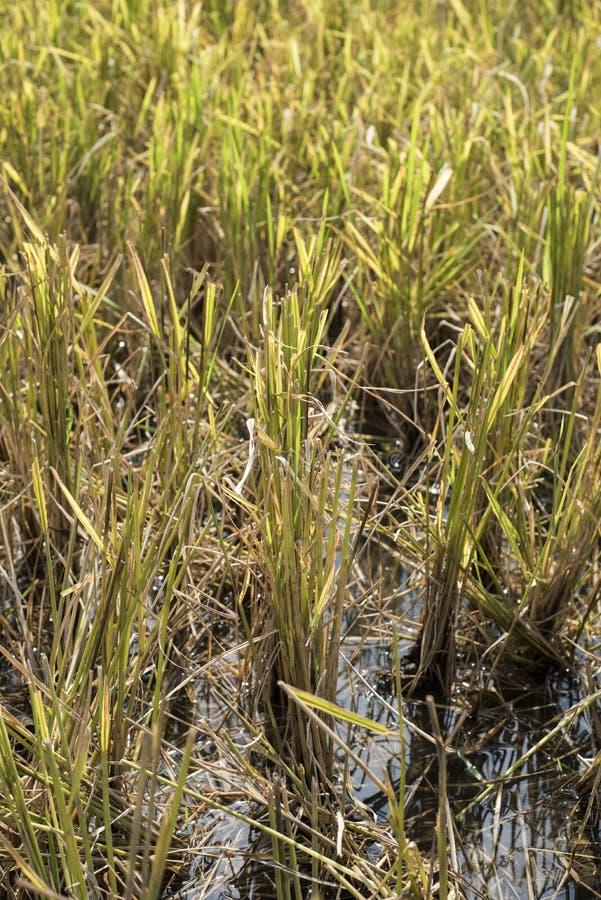 Close-up do campo do arroz fotos de stock