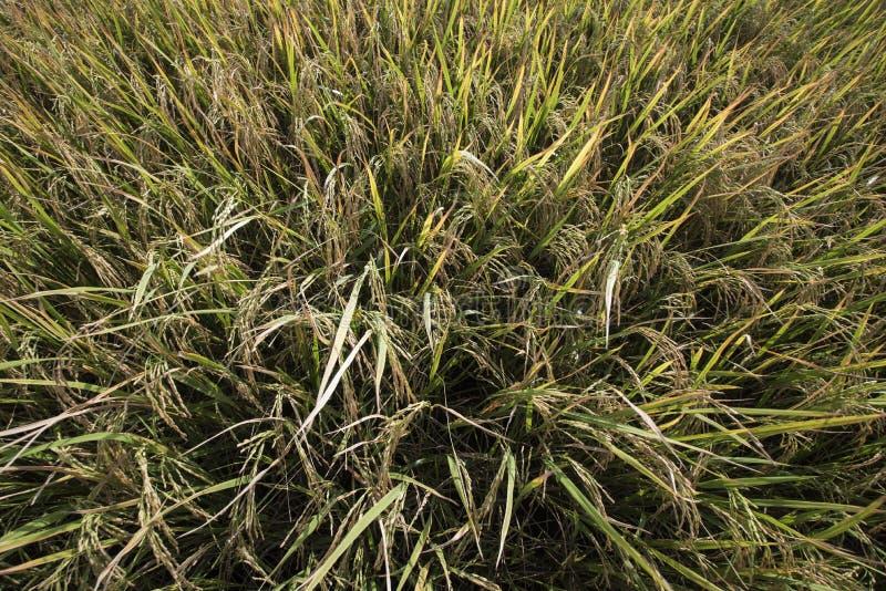 Close-up do campo do arroz fotografia de stock royalty free