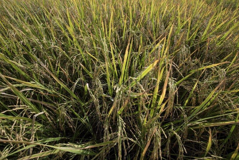 Close-up do campo do arroz imagens de stock royalty free