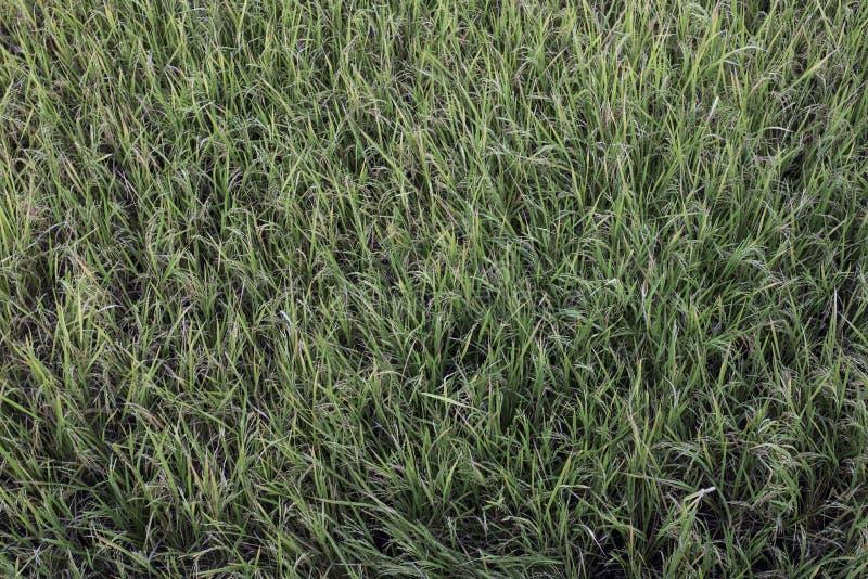Close-up do campo do arroz fotografia de stock