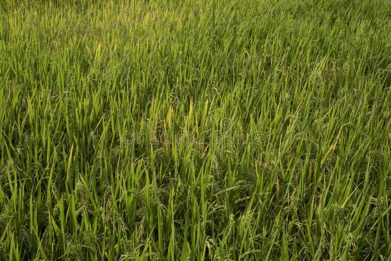 Close-up do campo do arroz imagem de stock royalty free