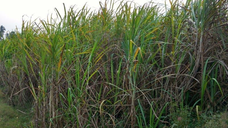 Close up do campo da cana-de-açúcar fotos de stock