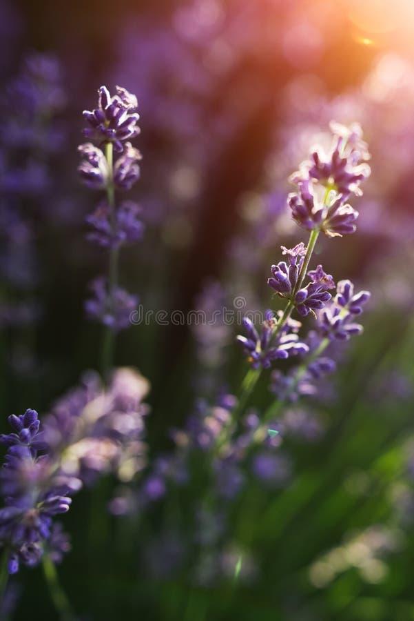 Close-up do campo de flor da alfazema no por do sol foto de stock royalty free