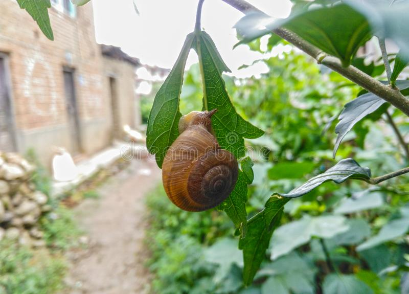 Close up do caracol comestível com shell que come a folha verde foto de stock royalty free