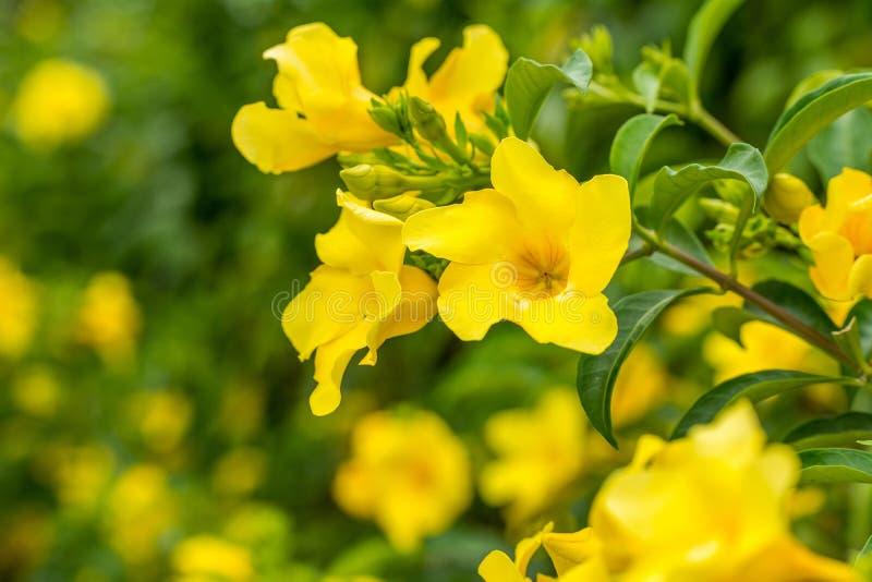 Close-up do cathartica do Allamanda, igualmente chamado flor de trombeta dourada fotografia de stock