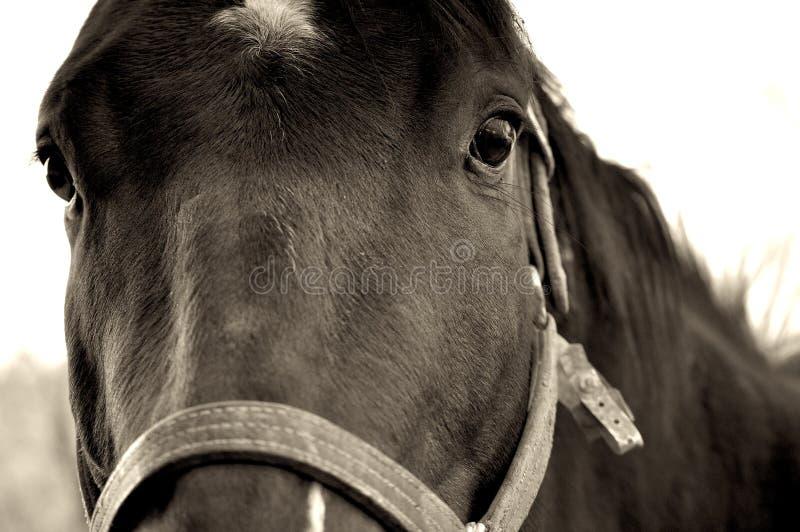 Close-Up do cavalo foto de stock royalty free