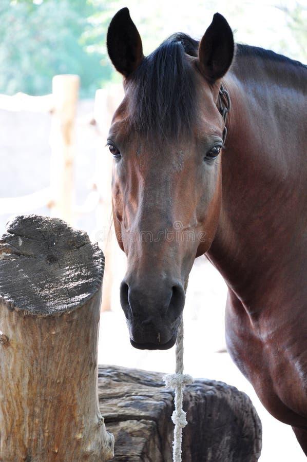 Download Close-up do cavalo marrom imagem de stock. Imagem de fazenda - 26522363
