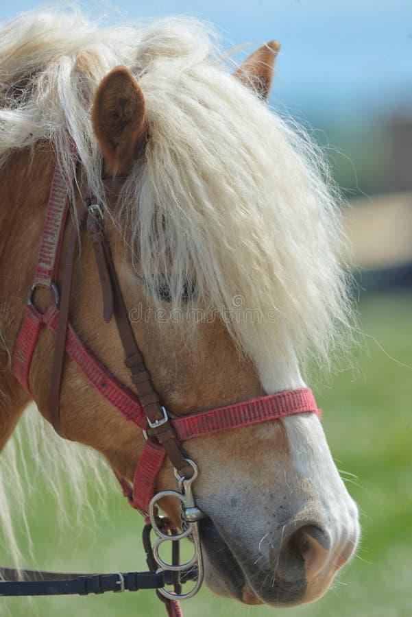 Close up do cavalo do puro-sangue imagem de stock