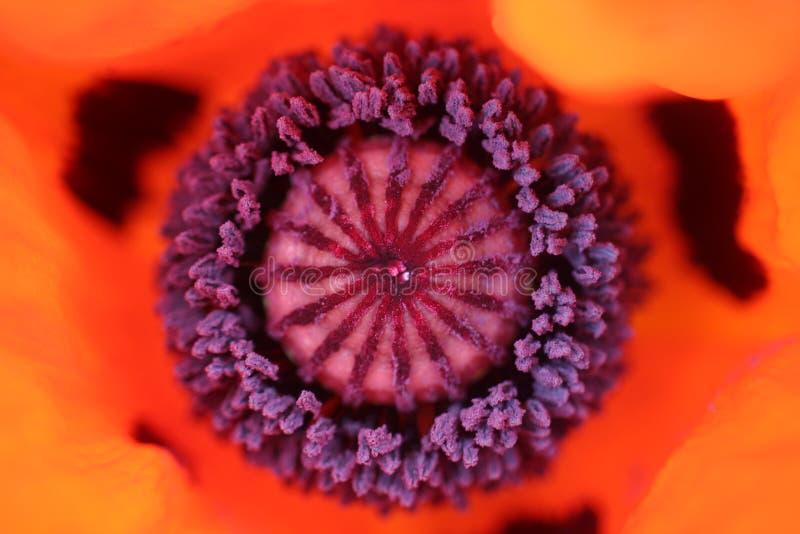 Close up do centro de uma papoila vermelha foto de stock