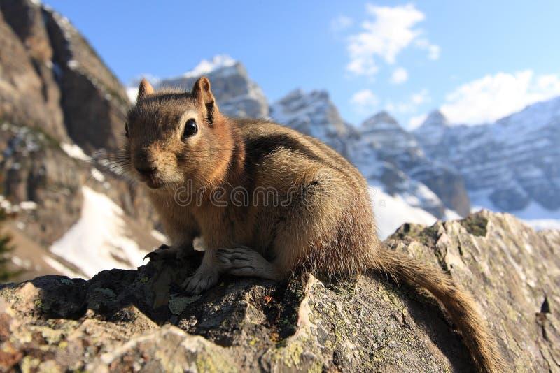 Close-up do Chipmunk em um penhasco da rocha foto de stock royalty free