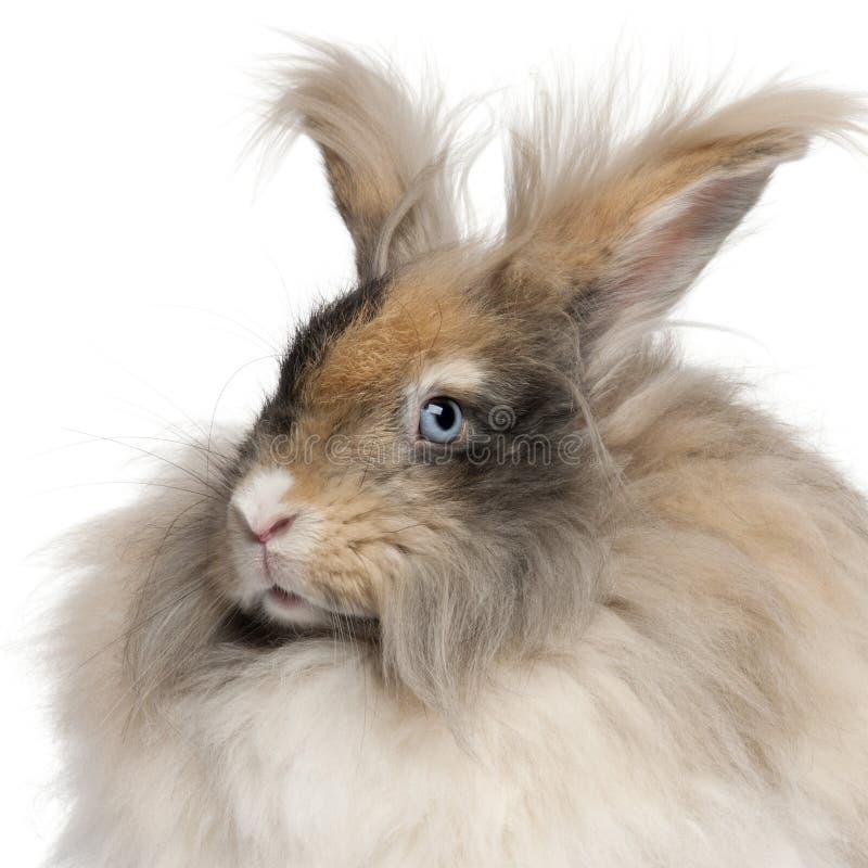 Close-up do coelho inglês do angora na frente do fundo branco imagens de stock royalty free