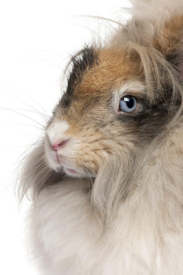 Close-up do coelho inglês do angora na frente do fundo branco fotografia de stock royalty free