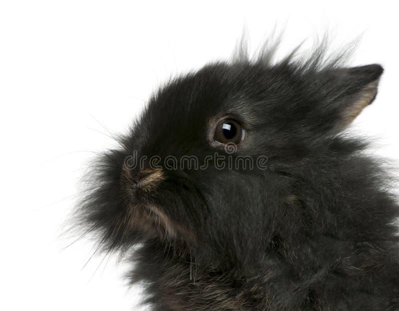 Close-up do coelho novo de Lionhead, 2 meses velho imagens de stock
