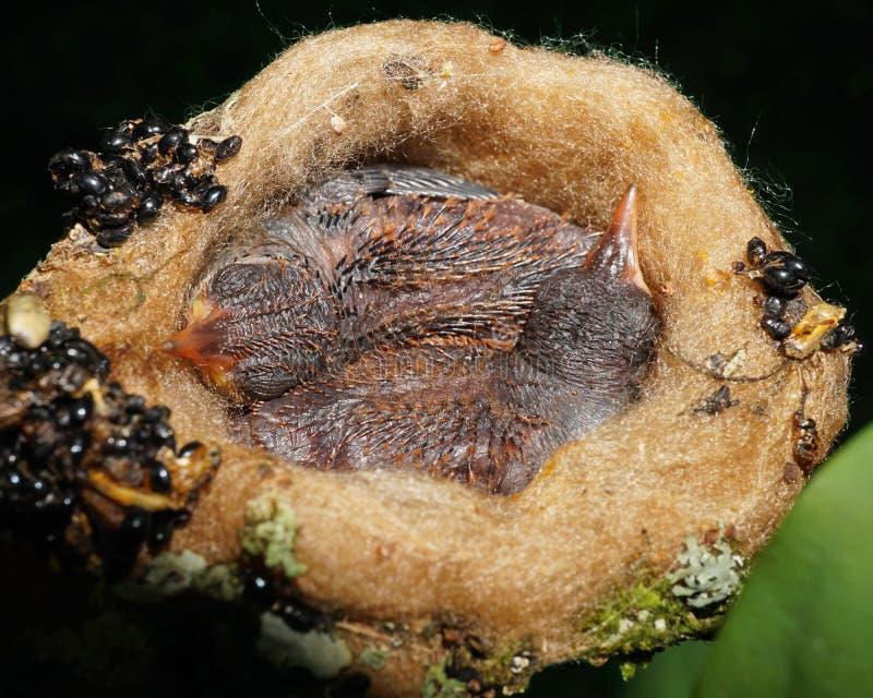 Close-up do colibri de dois bebês que dorme no ninho imagem de stock
