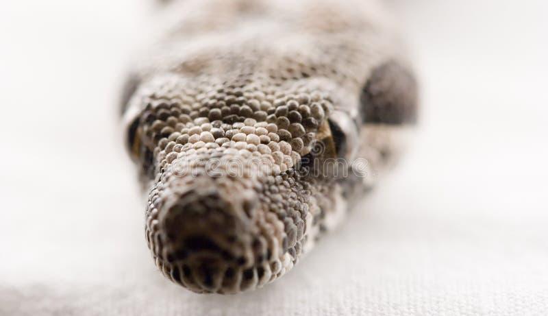 Close-up do constictor da boa do bebê   imagem de stock