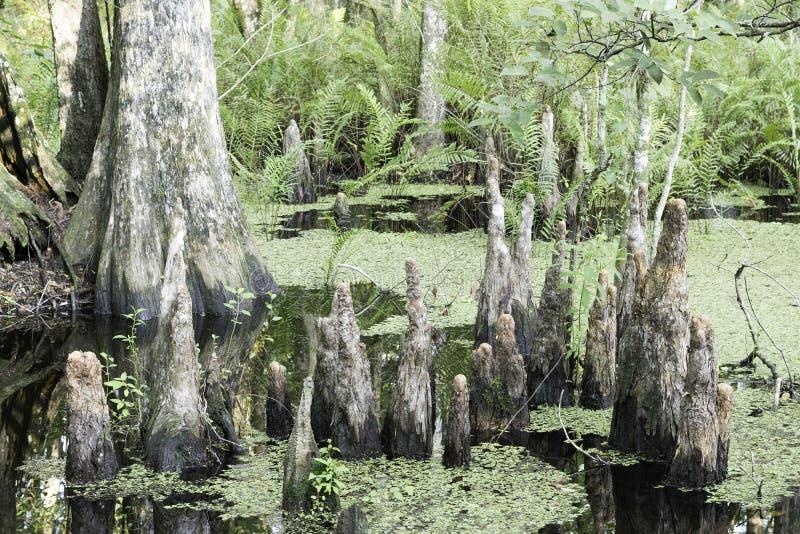 Close-up do coto de árvore de Cypress imagem de stock