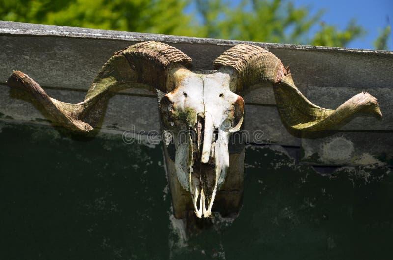 Close-up do crânio da cabra de montanha fotografia de stock