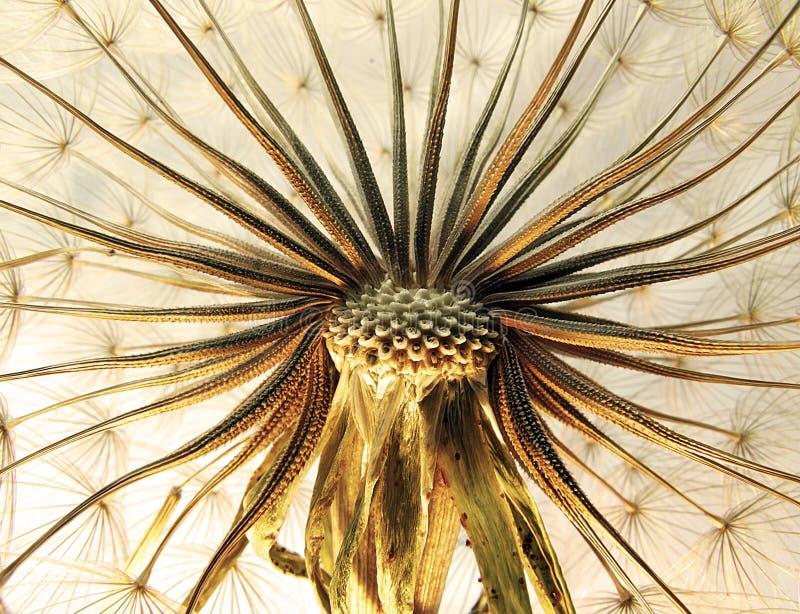 Close-up do dente-de-leão fotos de stock