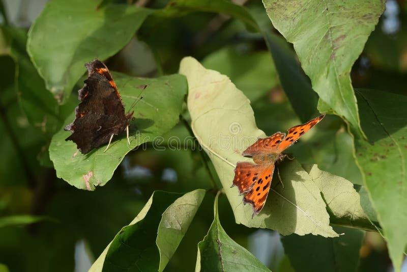 Close-up do duas borboletas aterradas nas folhas fotos de stock royalty free