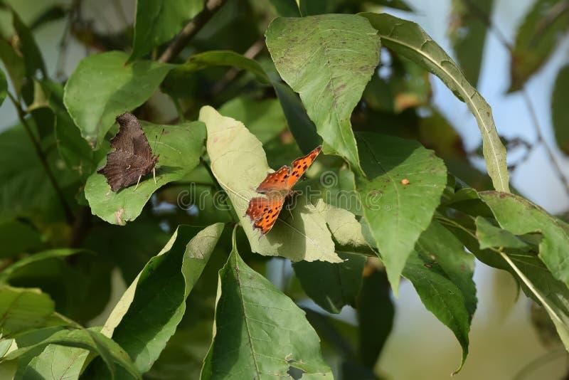 Close-up do duas borboletas aterradas nas folhas fotografia de stock