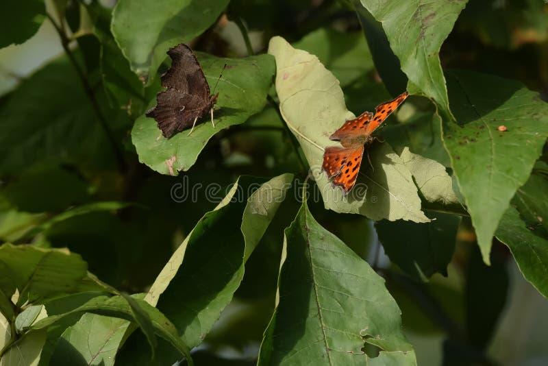 Close-up do duas borboletas aterradas nas folhas fotos de stock