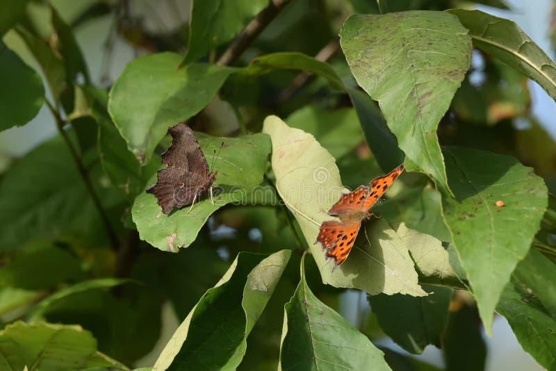 Close-up do duas borboletas aterradas nas folhas foto de stock royalty free
