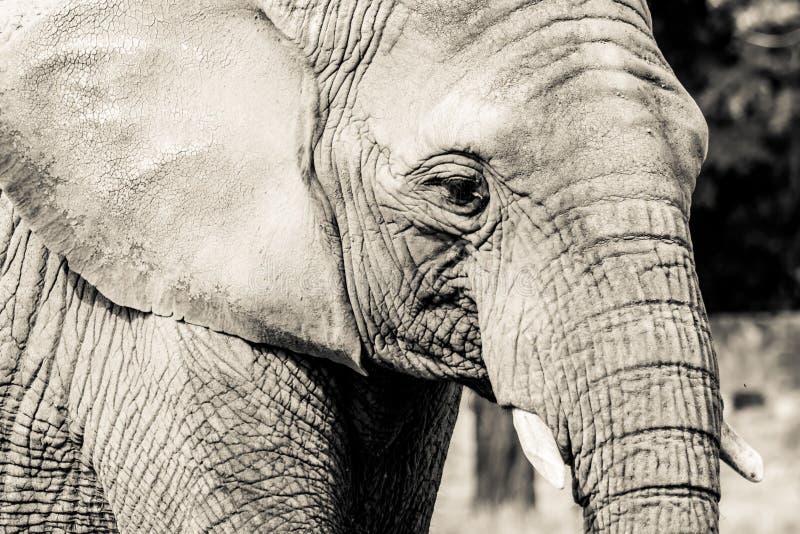 Close-up do elefante com expressão triste A cabeça de um close-up do elefante Vintage, foto do estilo antigo do grunge fotos de stock royalty free