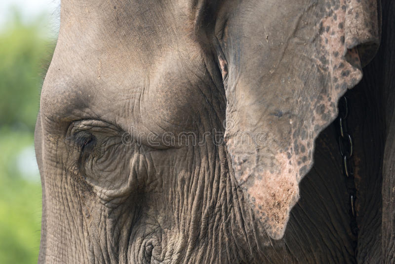 Close-up do elefante com rasgo foto de stock royalty free