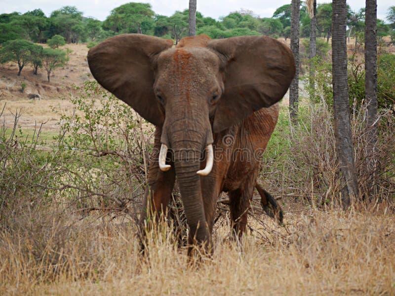 Close-up do elefante no safari em Tarangiri-Ngorongoro imagens de stock