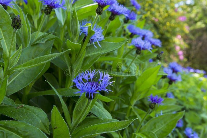 Close up do emblema nacional do ` s de Escócia, a flor do cardo azul fotografia de stock