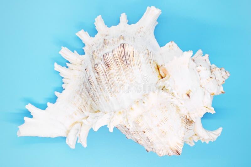 Close-up do escudo do molusco em um fundo azul, imagens de stock
