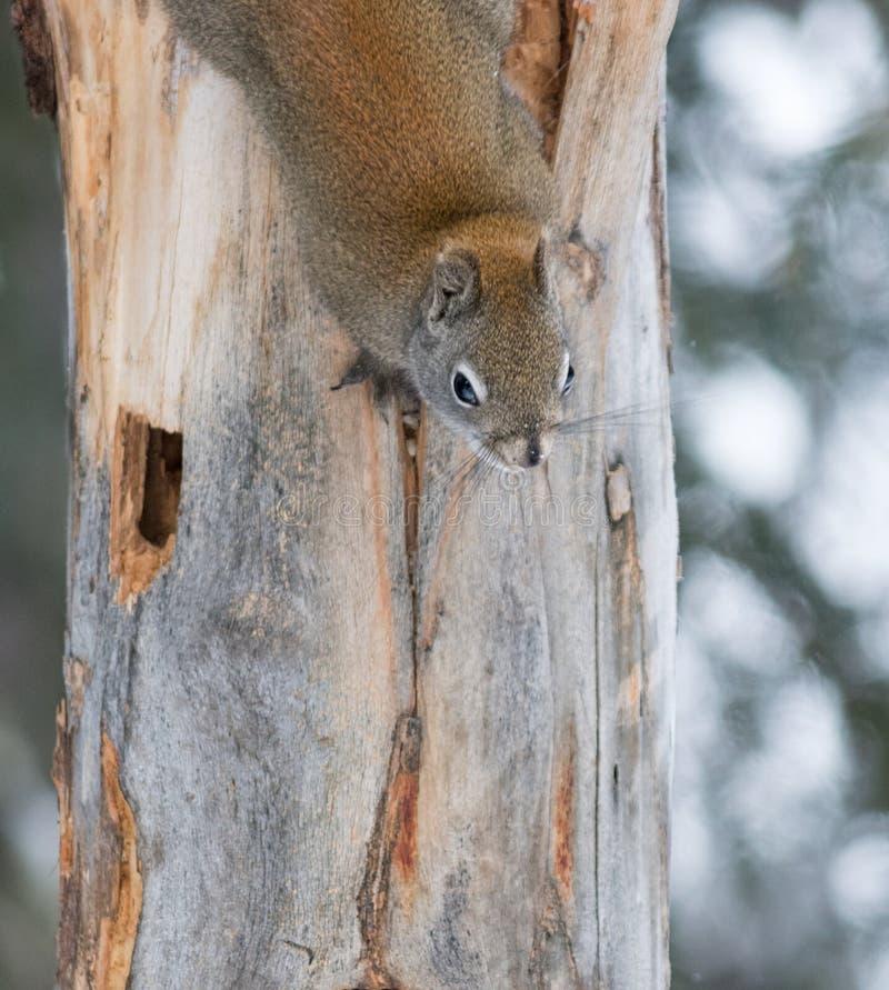 Close up do esquilo de cinza oriental fotografia de stock