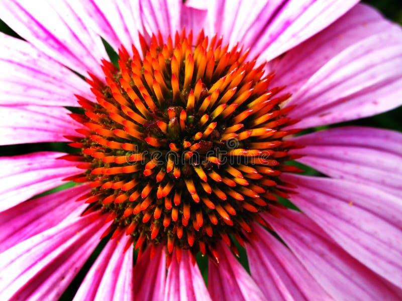 Close up do estame cor-de-rosa da flor imagens de stock royalty free