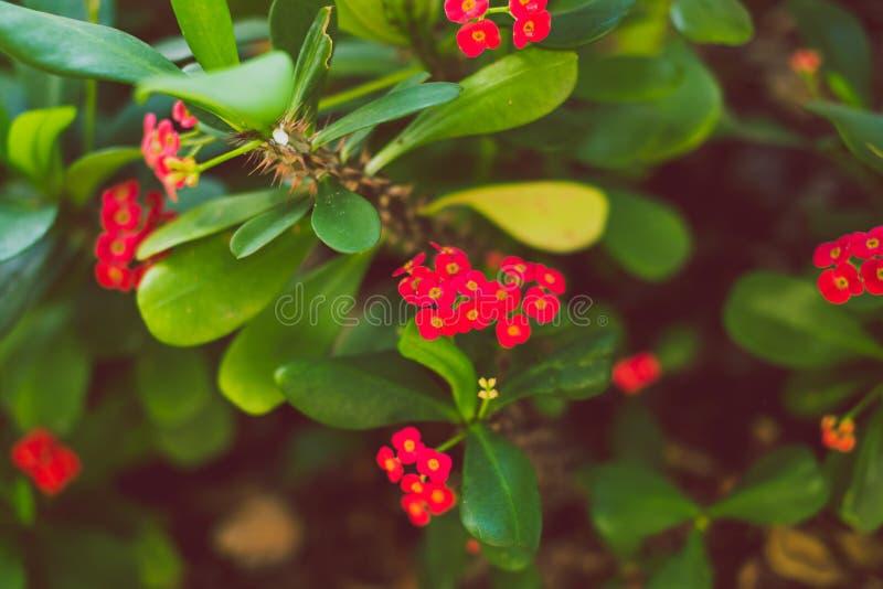 Close-up do eufórbio vermelho subtropical bonito Milii de Madagasca foto de stock