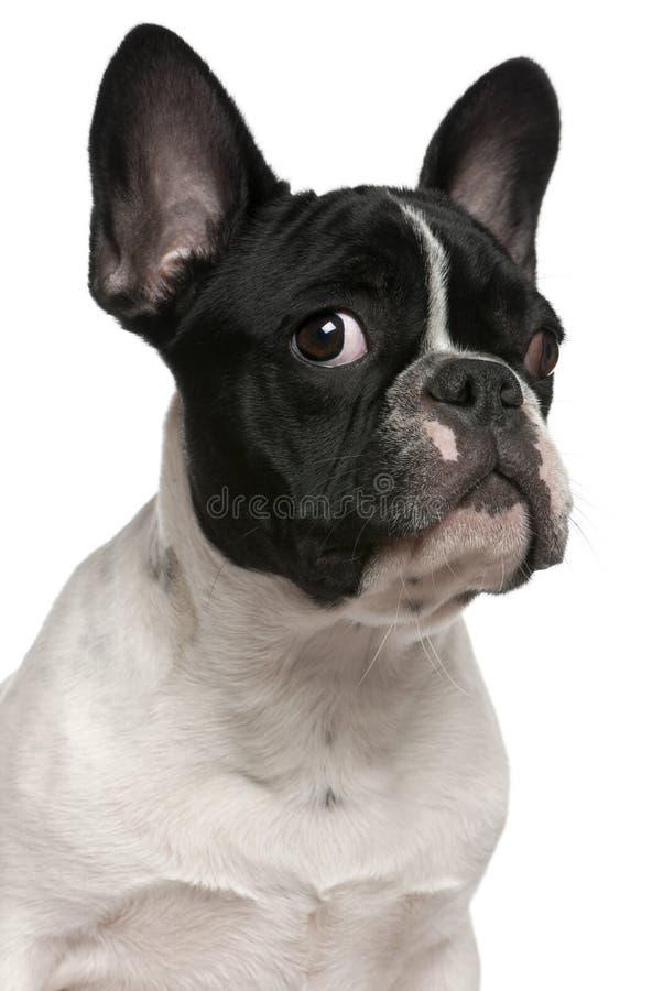 Close-up do filhote de cachorro do buldogue francês, 5 meses velho imagens de stock