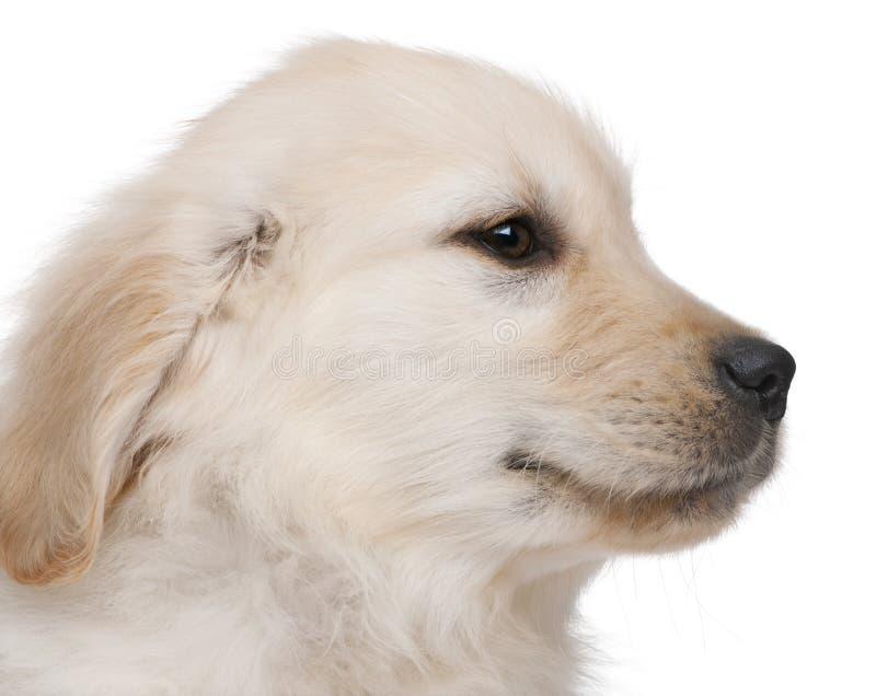 Close-up do filhote de cachorro do Retriever dourado foto de stock